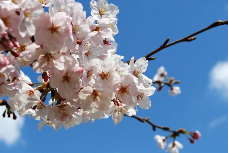入学式 桜